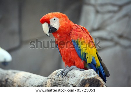 The Scarlet Macaw (Ara Macao), a large, colorful macaw, native to humid evergreen forests in the American tropics - stock photo