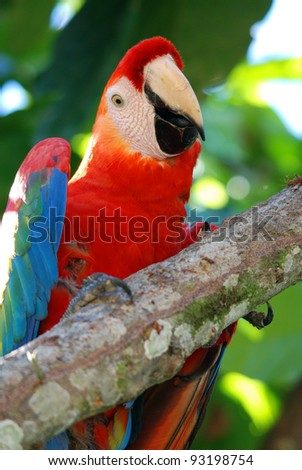 The Scarlet Macaw (Ara macao) is colorful macaw. It is native to humid evergreen forests in the American tropics. Range extends from extreme south-eastern Mexico to Amazonian Peru, Bolivia and Brazil. - stock photo