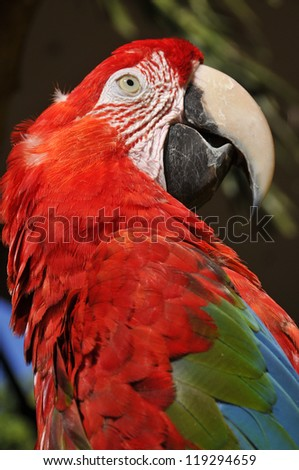 The Scarlet Macaw is a large, red, yellow and blue South American parrot, a member of a large group of Neotropical parrots called macaws. It is native to humid evergreen forests of South America. - stock photo