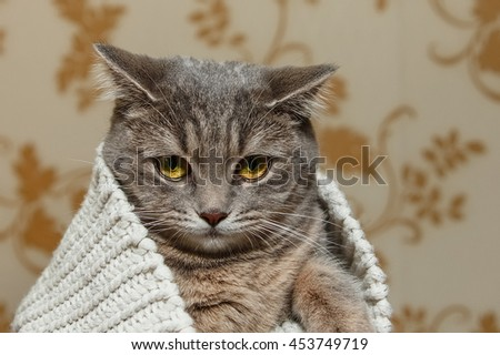The Scotch Grey Cute Cat is Sitting in the Knitted White Sweater.Beautiful funny Look.Animal Fauna,Interesting Pet. - stock photo