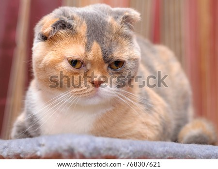 The Scottish Fold cat rests in its place