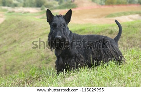 The Scottish Terrier (Scottie) - stock photo