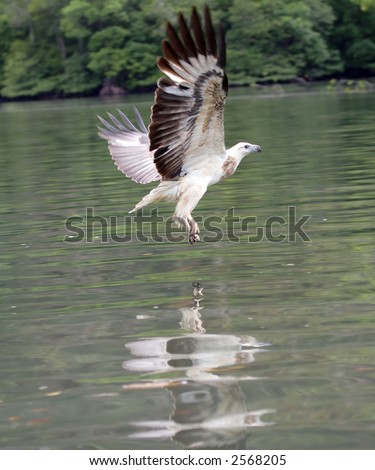 The sea eagle fishes in a gulf of Andaman sea near  Langkawi island, Malaysia