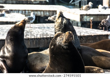 The sea lions on the floating platform, San Francisco - stock photo