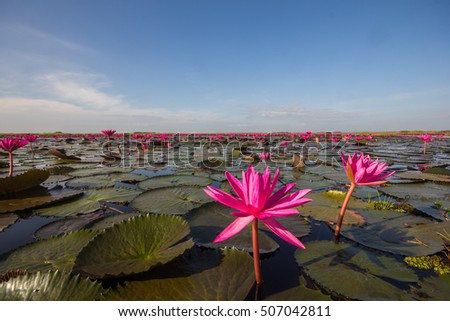 The sea of red lotus, Udon Thani, Amazing Thailand.