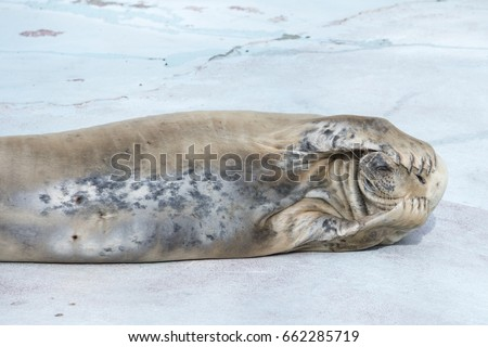 The seal lies on the white floor and covers the face with fins with a curved back