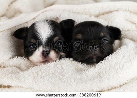 The second puppy chihuahua sleeping blanket white towel. - stock photo