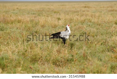 The Secretary Bird in African national park - stock photo