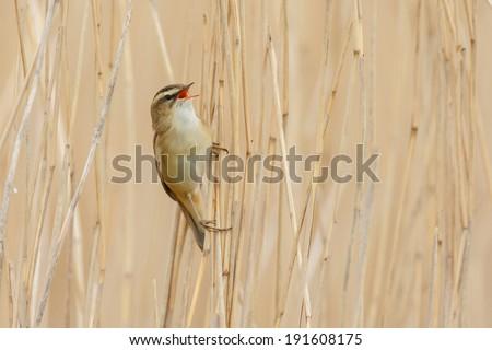 The Sedge Warbler (Acrocephalus schoenobaenus) singing - stock photo