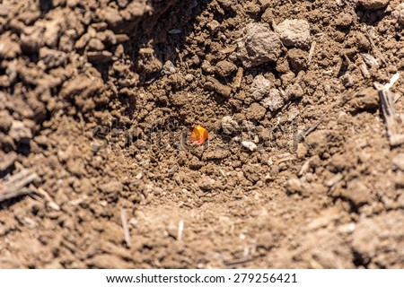 The seed of the corn in the ground - stock photo