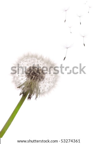 The seeds which are flying away from a dandelion on a white background - stock photo
