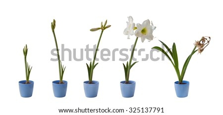 The sequence of the flowering white Hippeastrum in blue pot on a white background isolated - stock photo