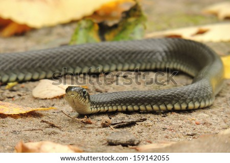 the serpent on the ground in the autumn leaves - stock photo