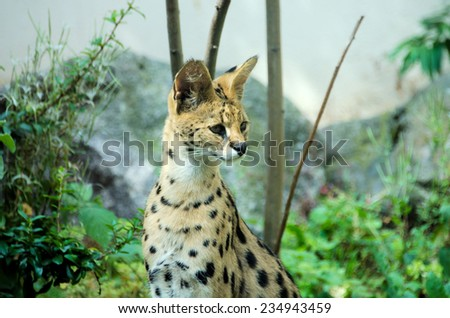 the  serval, soft focus - stock photo