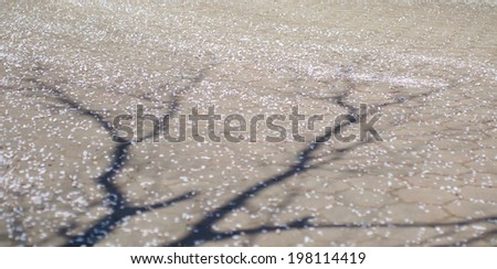 the shadow of the tree and fallen  cherry blossom petals - stock photo