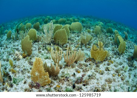 The shallow sea floor near Grand Cayman is covered by small sea fans, or gorgonians, that catch planktonic food. - stock photo