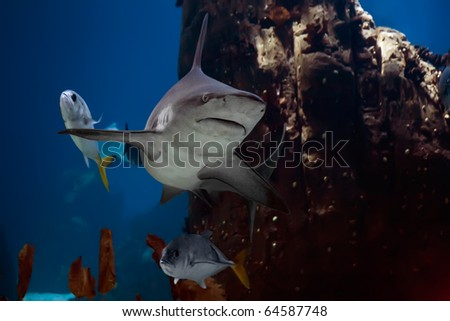 The shark floating in an aquarium of Lisbon - stock photo