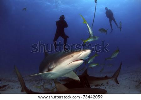 The sharks of Tiger Beach, Bahamas - stock photo