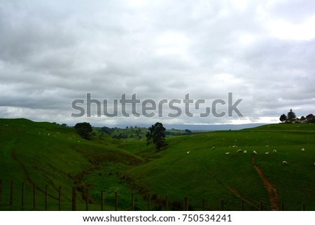 The sheep in the field before Hobbiton movie set, Matamata, North Island, Newzealand.