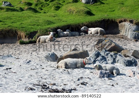 The sheep lying on the sandy beach
