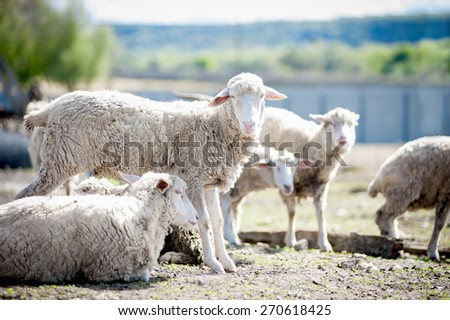 The sheeps on a farm - stock photo