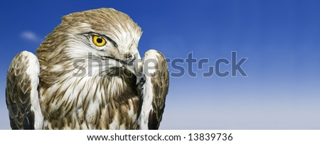 The Short Toed Eagle scientific name Circaetus Gallicus - stock photo