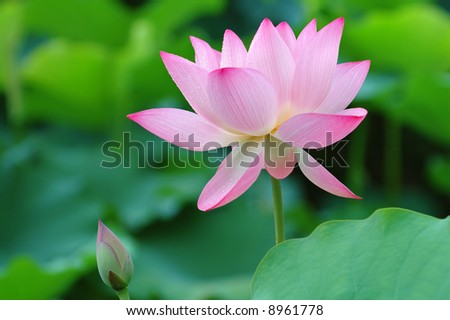 The shot of blooming lotus flower and a bud - stock photo