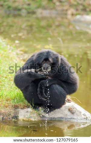 The Siamang Gibbon(Symphalangus syndactylus) is drinking  the water - stock photo
