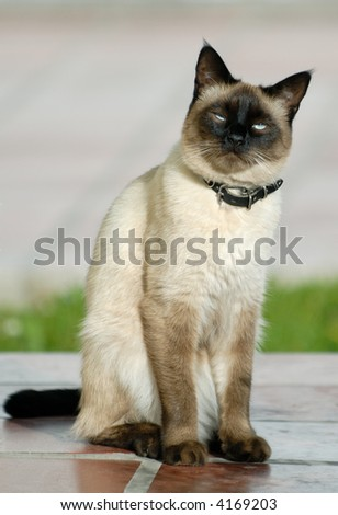 the siamese cat - stock photo