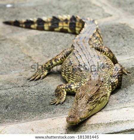 The Siamese crocodile  - stock photo