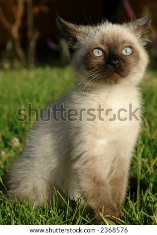 the siamese kitten - stock photo
