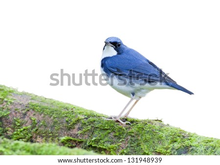 The Siberian Blue Robin (Luscinia cyane) on white background. - stock photo