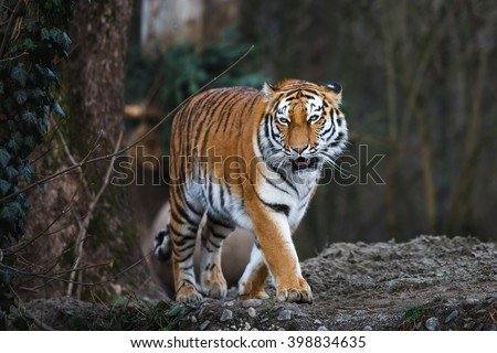 The siberian tiger in the wood at autumn time - stock photo