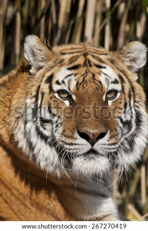 The Siberian tiger is a tiger subspecies inhabiting mainly the Sikhote Alin mountain region with a small population in southwest Primorye province in the Russian Far East.