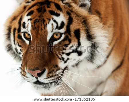 The Siberian tiger (Panthera tigris altaica) close up portrait. Isolated on white background - stock photo