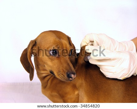 The sick dog and syringe, injection - stock photo