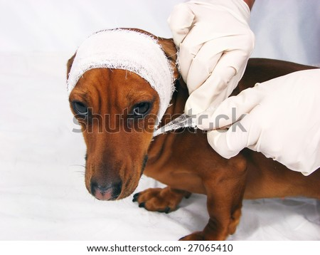 The sick dog in bandage - stock photo