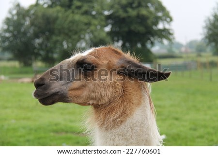 The Side View of the Head of a Goat. - stock photo