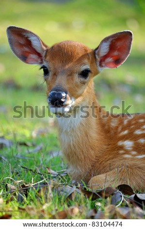 The Sika deer is one of the few deer species that does not lose its spots upon reaching maturity. - stock photo