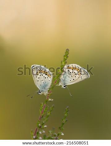 The Silver-studded blue, plebejus argus resting on heather  - stock photo