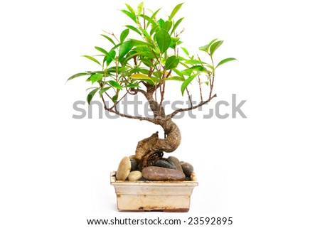 The sinuous japan Bonsai-tree on white background
