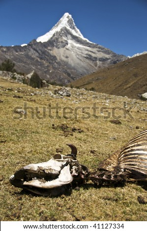 The Skeleton of a Cow with Artesonraju Peak, Peru (basis for Paramount Studios Logo) in the Background - stock photo