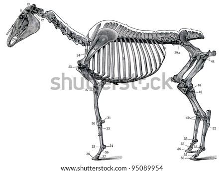 "The skeleton of a horse. Publication of the book ""Meyers Konversations-Lexikon"", Volume 7, Leipzig, Germany, 1910 - stock photo"