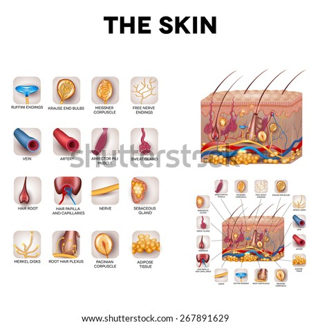 The skin and skin structure components, detailed illustration. Skin sensory receptors, vessels, hair, muscle, etc. Beautiful bright colors. - stock photo