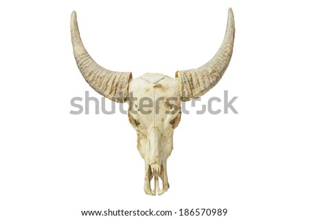 The skull of Bubalus arnee or Skull of Wild water buffalo in Thailand. - stock photo
