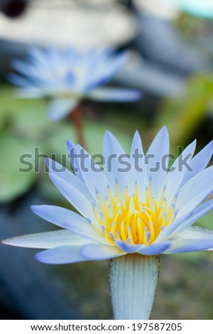 The sky blue water lily - stock photo