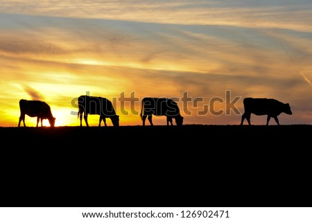 The sky is the background for four silhouettes of cows in a field