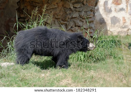 The sloth bear (Melursus ursinus), also known as the Stickney bear or labiated bear, is a nocturnal insectivorous species of bears found wild within the Indian Subcontinent. - stock photo