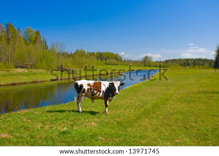 The small bull is grazed on a field at the river - stock photo