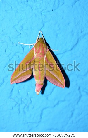 the Small Butterfley, (Deilephila porcellus) from the family of dreamers
